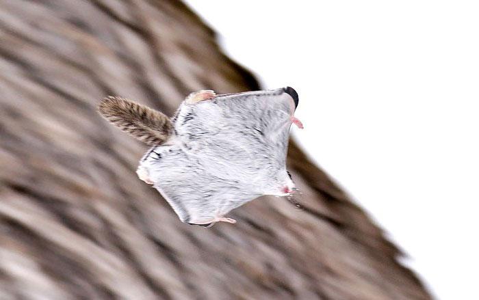 siberian-japanese-dwarf-flying-squirrel-19