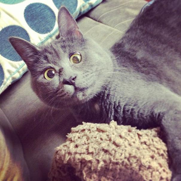 surprised-cat-hydrocephalus-kevin-theadventuresofkev14