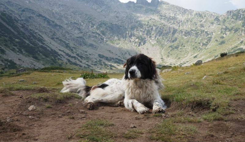 Прекрасното самотно куче, което броди из Рила и придружава планинарите в техните преходи (снимки)*