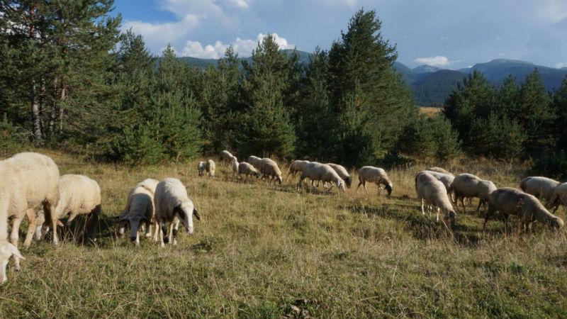 рила овчици