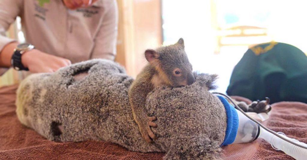 Бебе коала прегръща майка си през цялото време на операцията ѝ