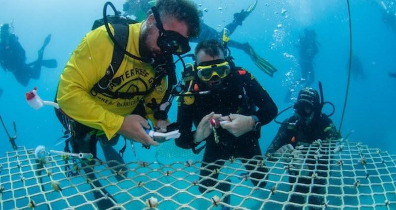Австралийски водолази засаждат корали, докато туристите се завърнат