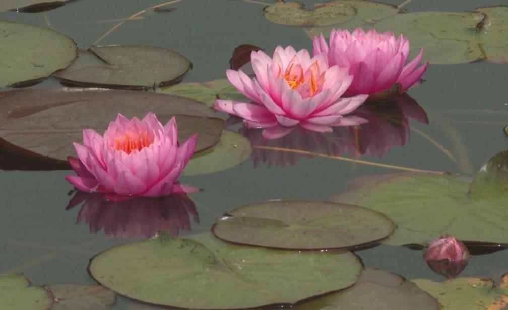 Първата ферма за водни лилии в България вече е факт